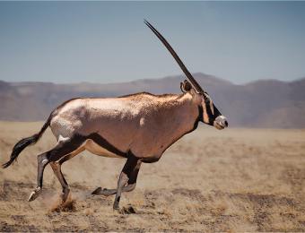 Running Oryx