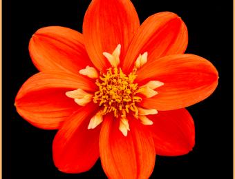 Orange-dahlia
