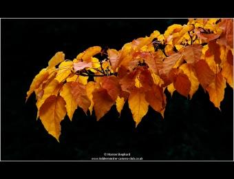 marion-shephard-autumn-gold
