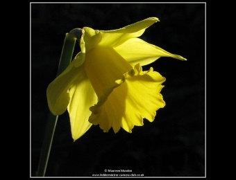 maureen-mundon-7-narcissus