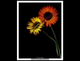 steve-ficken-2-just-flowers
