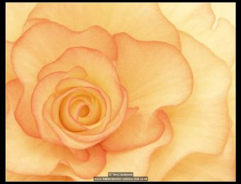 terry-jamieson-begonia